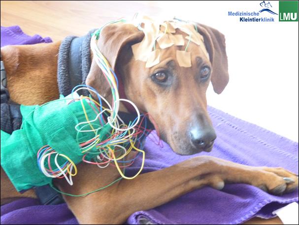 Kabellose Video-Elektroenzephalographie bei einem Rhodesian Ridgeback.